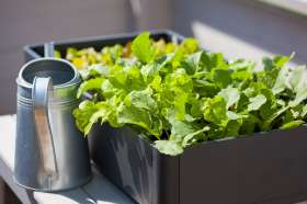 Growing radish and lettuce in a container