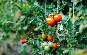 Main Image Tomatoes growing on the vine in a greenhouse