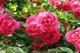 Rose bush main image